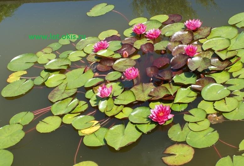 Выращивание водных лилий 38